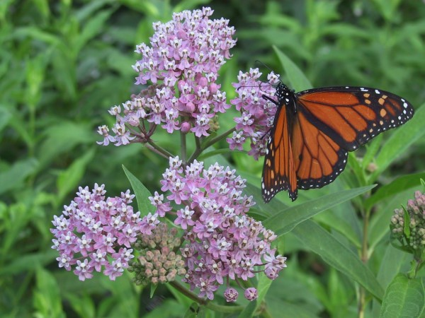 A monarch butterfly on a milkweed flower. Milkweed is edible for humans, too!