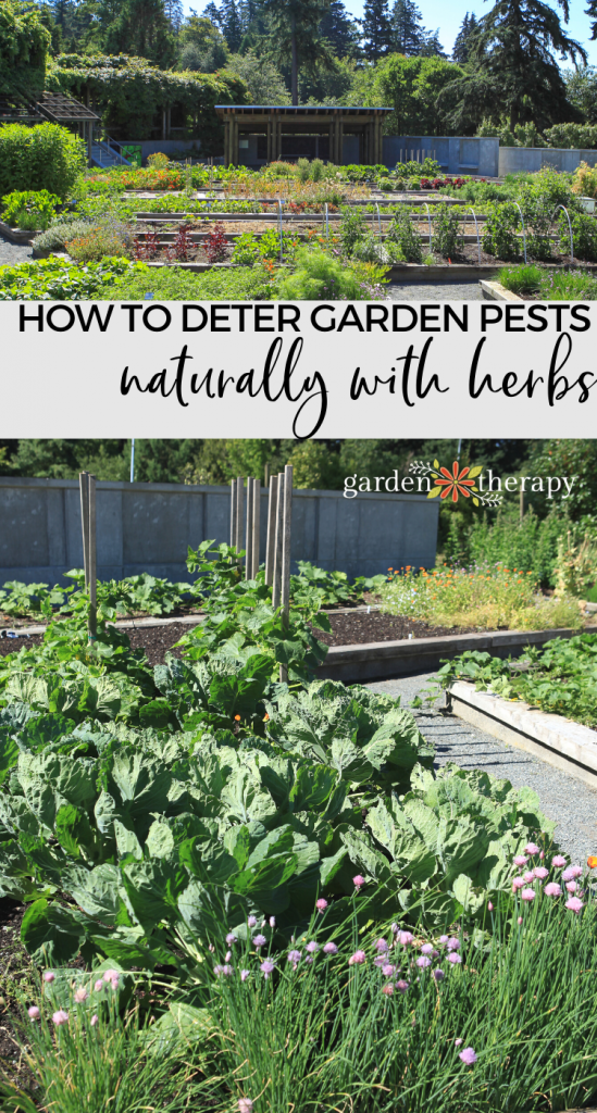 Natural Pest Control How To Plant Mixed Herbs And Vegetables To