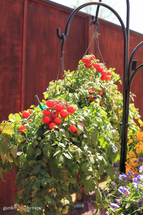 tomatoes growing in hanging baskets
