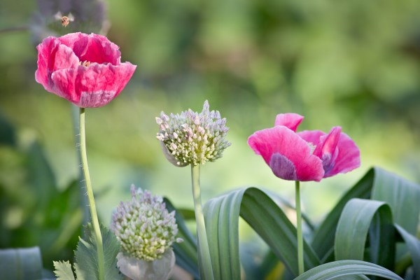 Interplanting poppies and alliums