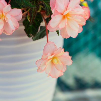 Flowering Annuals to Perk Up a Shady Garden