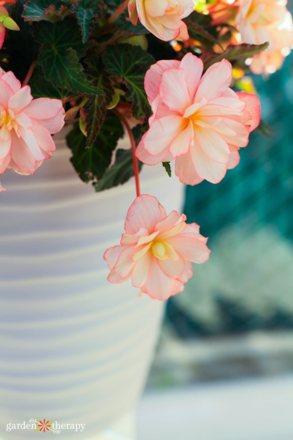 Annual Flowers To Perk Up A Shady Garden Garden Therapy