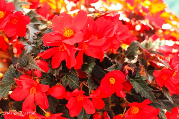 bright red begonia adds color to a shady garden