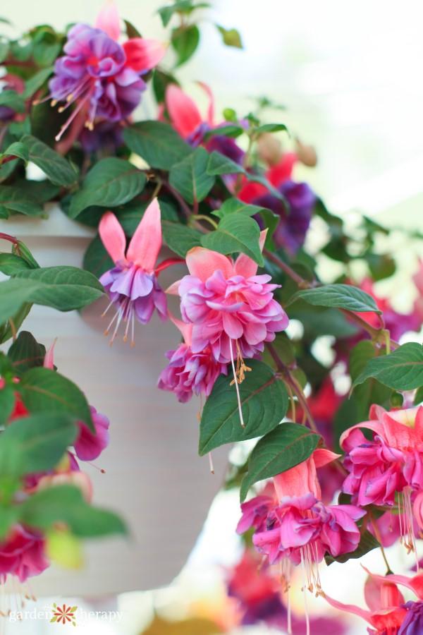 trailing fuchsia for shade