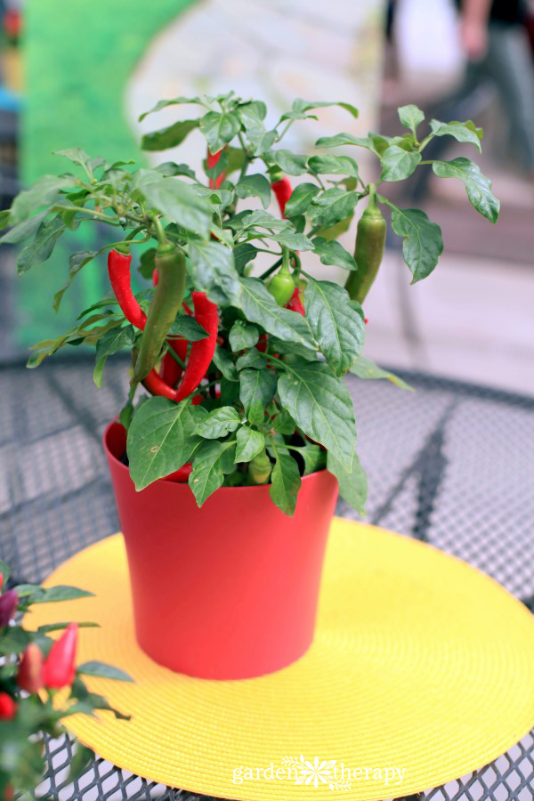 Peppers thrive in a container