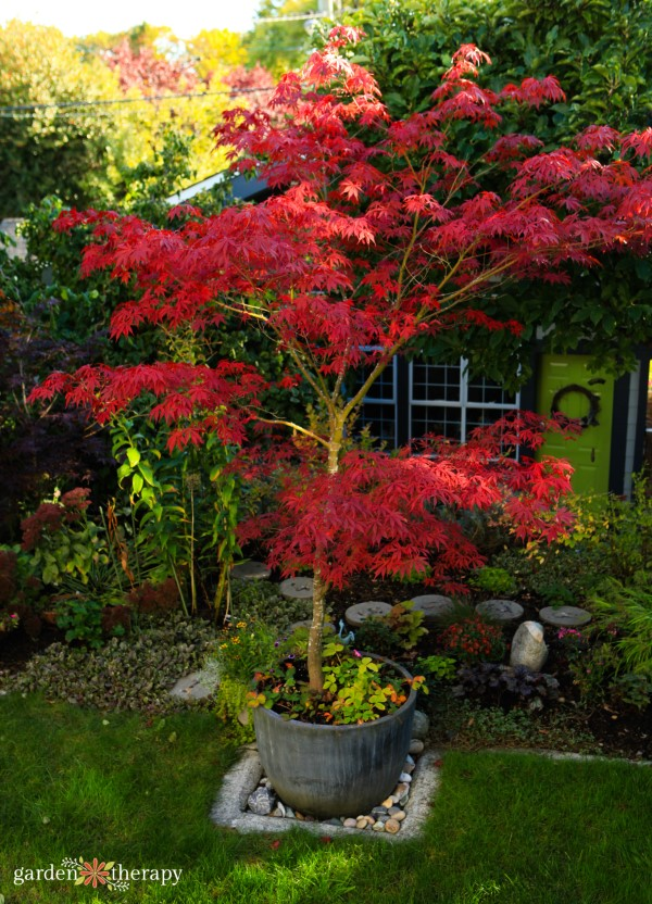 Japanese maple in a container