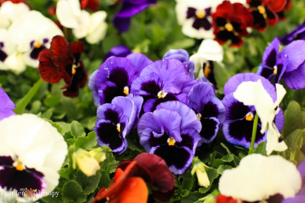 flowering annuals for shade: pansies