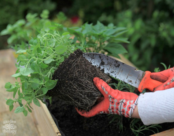 Using a soil knife to aerate the roots of a potted plant