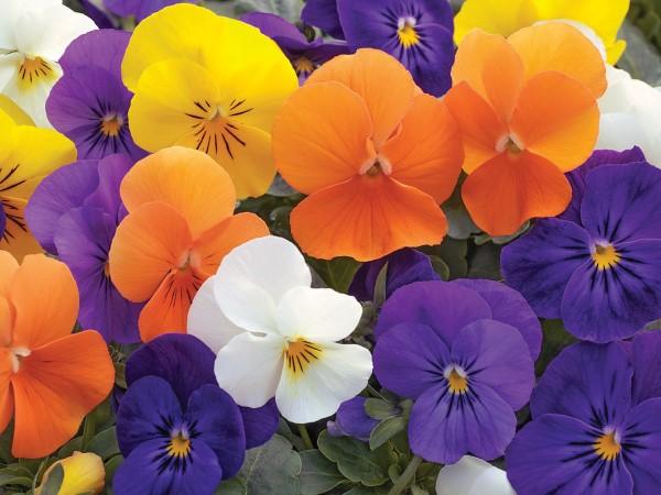 Penny All Seasons Viola Mix