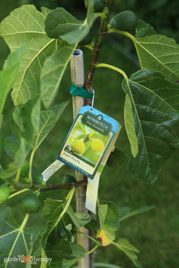 dwarf fig plant