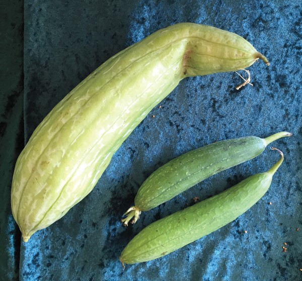 A mature luffa gourd and two young fruits