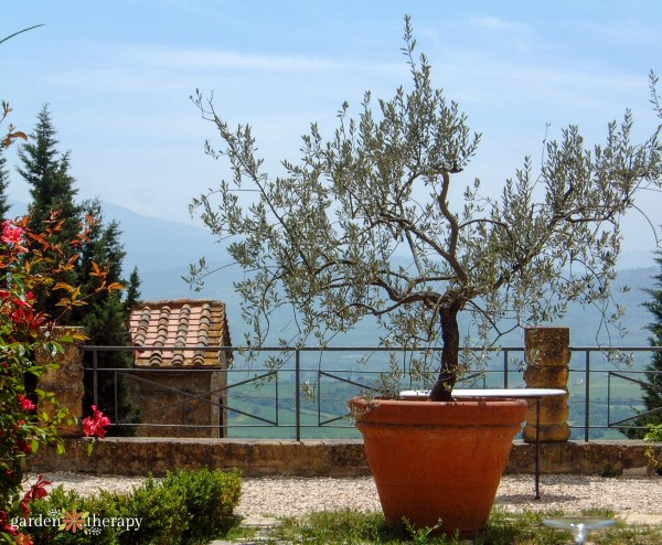 olive tree grown in a container