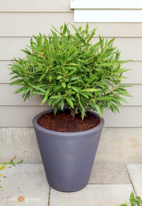 Growing a bay tree in a container