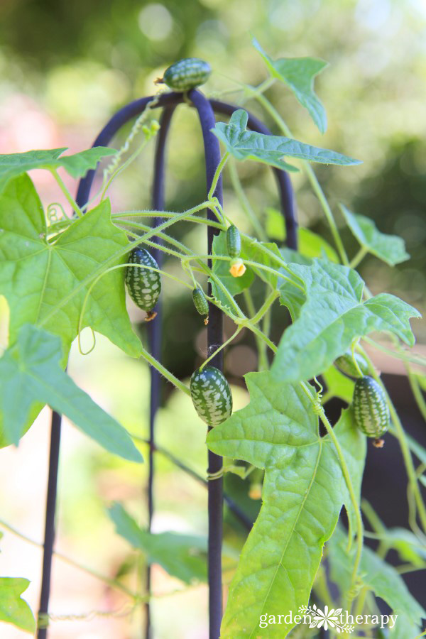 a cucamelon vine growing up a tall trellis for support
