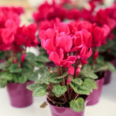 The Most Beautiful Flowering Houseplants