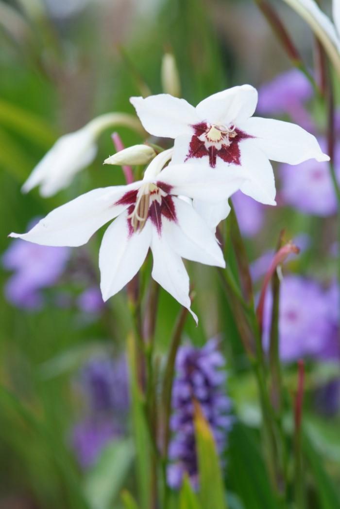 Gladiolus callianthus flowers