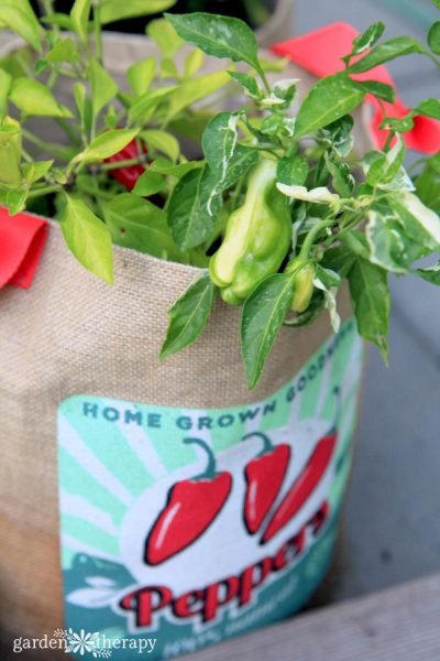 growing peppers in a bag