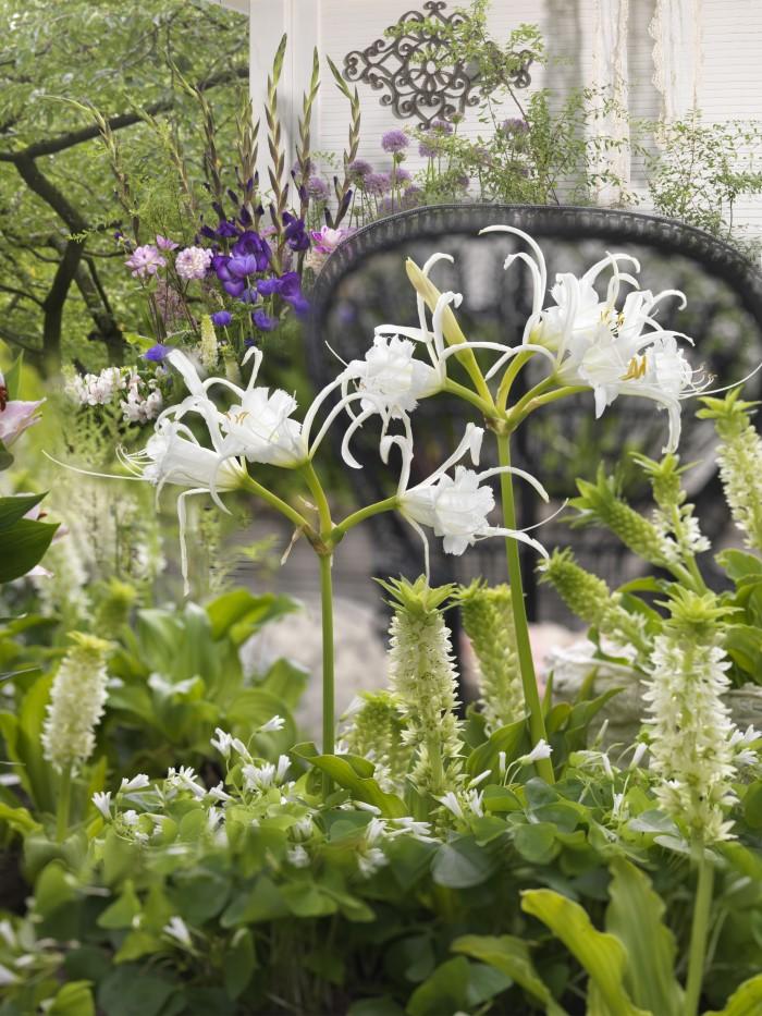 Hymenocallis flower blooming in a garden