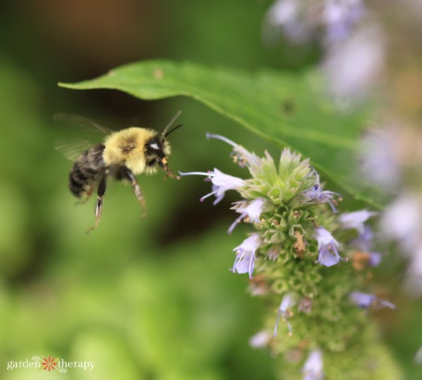Bee visiting agastache