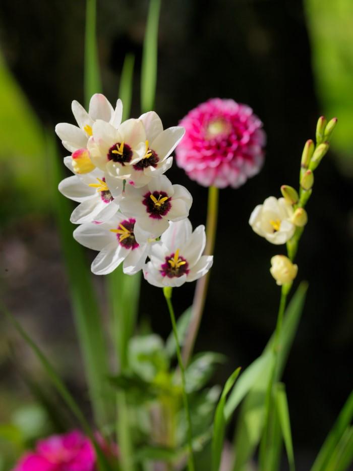 white ixia flowers