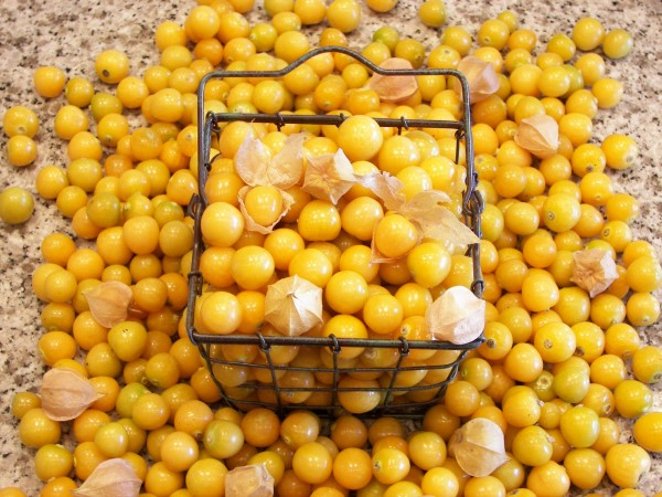 A basket of freshly harvested Aunt Molly's ground cherries