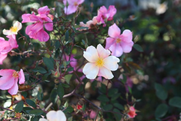 wild rose for beauty recipes
