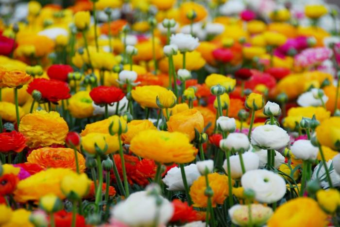 field of ranunculus blooms