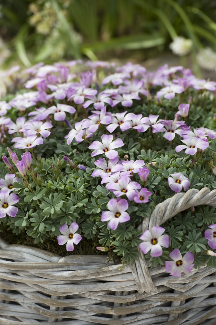 blooming oxalis plant