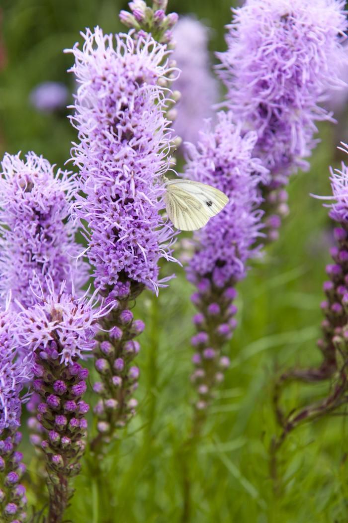 purple liatris