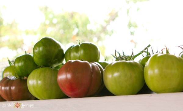 Green tomatoes ripening indoors