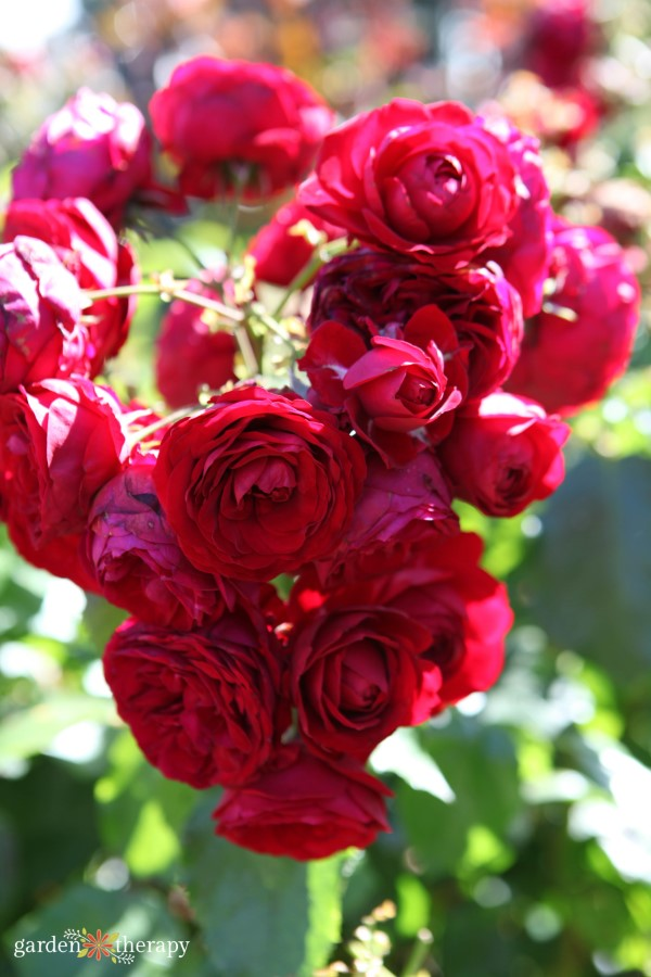 red roses for rosewater and other beauty recipes