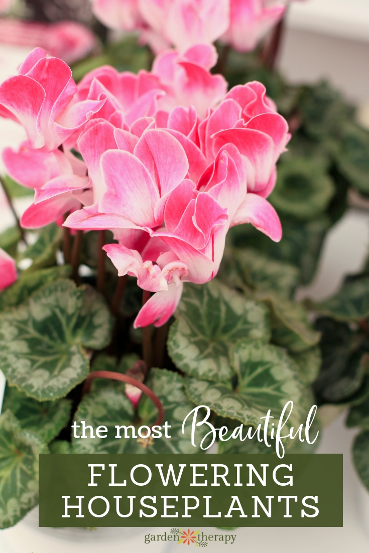 The Most Beautiful Flowering Houseplants. Gorgeous cyclamen and other plants that will flower indoors.