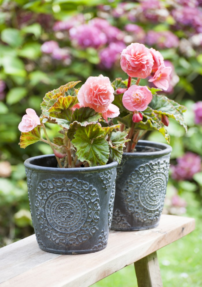 potted pink tuberous begonia