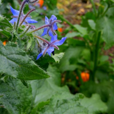 Double Duty Plants: 20 Edible Flowers for Companion Planting in the Vegetable Garden
