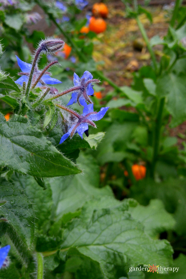 borage growing in a vegetable garden