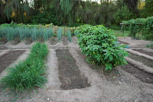 intensive planting in a vegetable garden