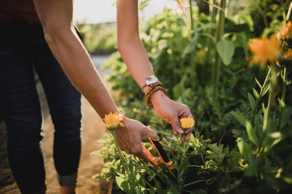 snipping flowers from a companion plant garden
