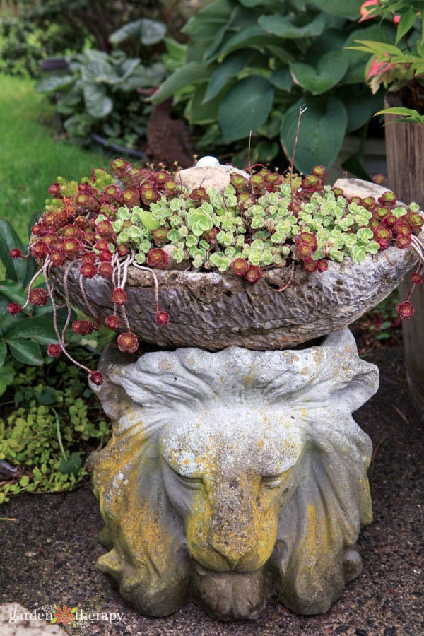 succulent lion's head planter