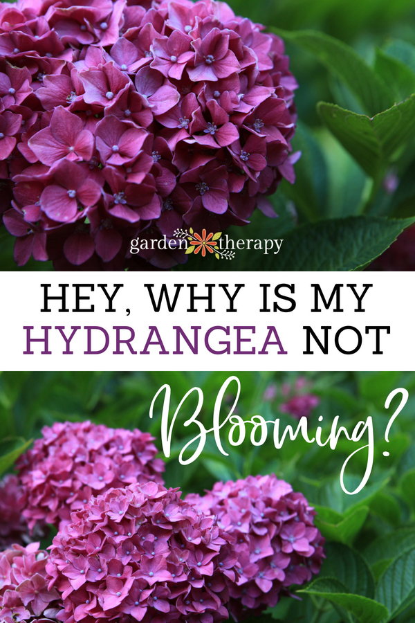 why is my hydrangea not blooming?