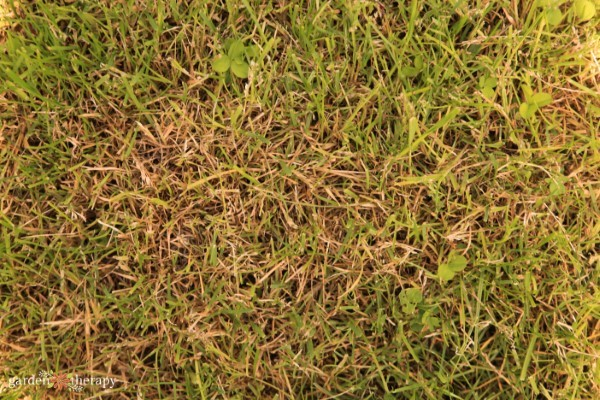 a brown lawn like this means it is going through a natural stage of dormancy