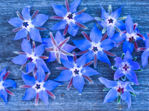 borage flowers are edible and attract bees to the garden