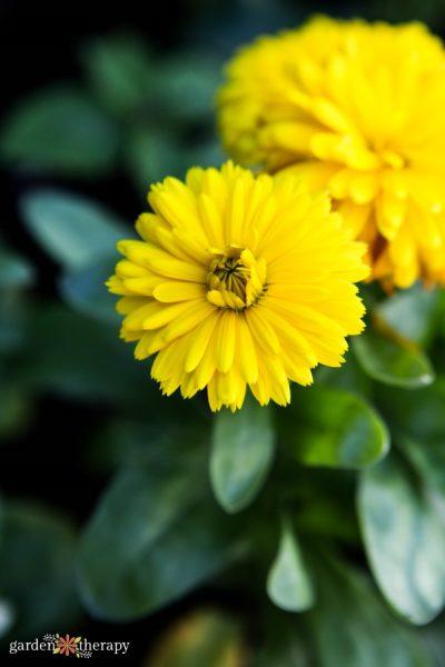 yellow costa calendula