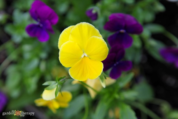 Cool Wave Pansy Mix Garden Therapy Seed Collection