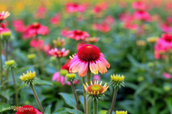 a field of echinacea