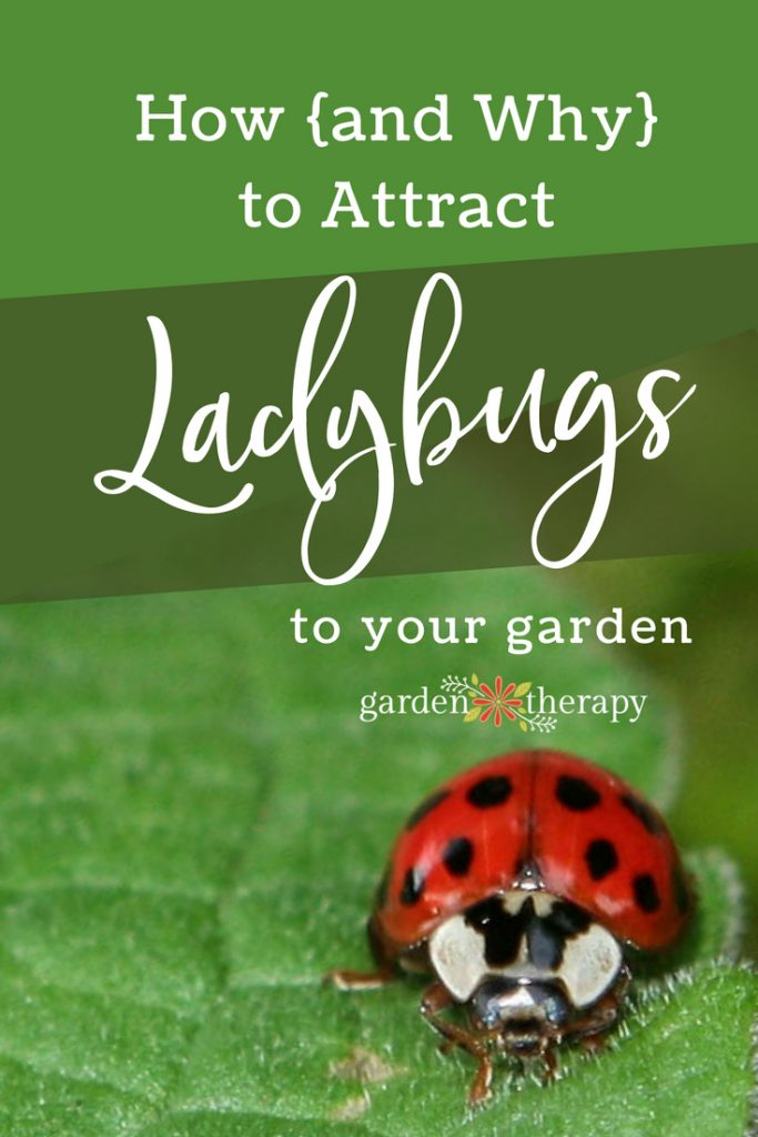 How (and why) to attract ladybugs to your garden