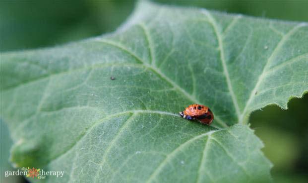 ladybug pupa on a leaf