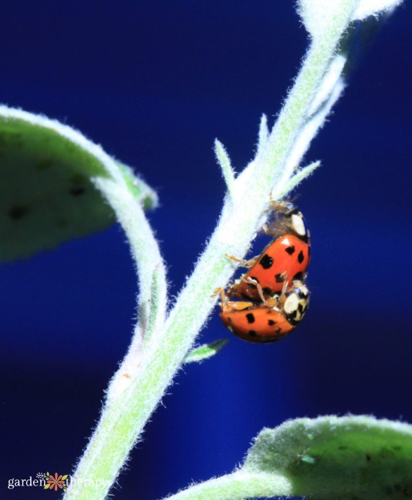 ladybugs mating