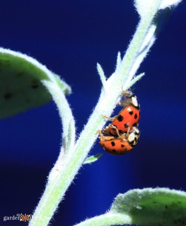 ladybugs mating on a stem