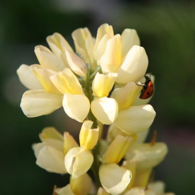 Natural Pest Control: Attracting Beneficial Insects to Your Garden
