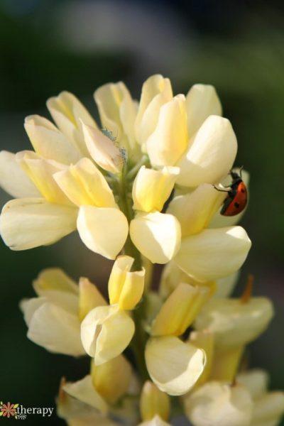 a ladybug hunting aphids